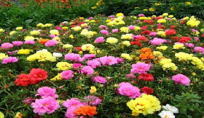 黑色波斯菊的花语_【大波斯菊花语推荐排名】送礼哪种大波斯菊